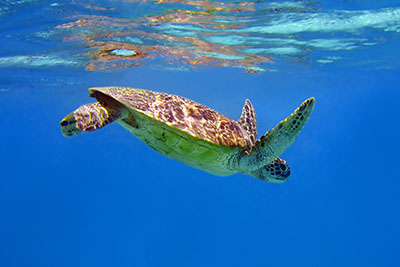 A turtle swimming in the Great Barrier Reef