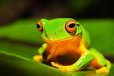 A beautiful green frog
