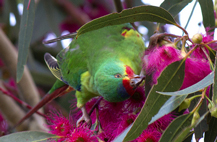Swift parrot, Bruny Island, tasmania, image cc by flickr user Lizardstomp