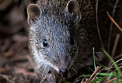 Image of a bandicoot
