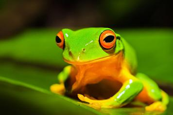 A beautiful green frog
