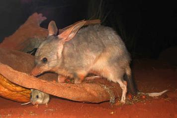 Bilby_at_Sydney_Wildlife_World