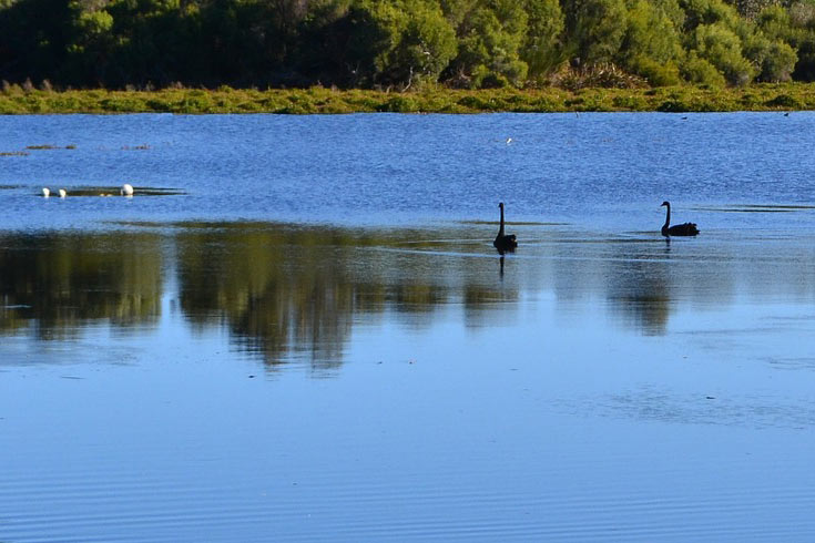 black swans on a lake